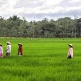 Ilustrasi sawah sebagai penghasil beras yang wajib dicadangkan oleh pemerintah. (Ist)