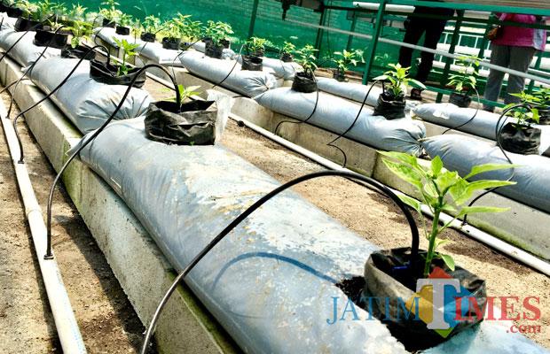 Fertigasi tetes yang mulai diaplikasikan di green house, Desa Pesanggrahan, Kecamatan Batu. (Foto: Irsya Richa/BatuTIMES)