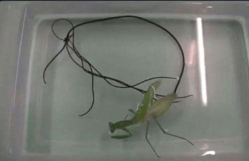 Makhluk misterius keluar dari anus belalang (foto: screenshot)