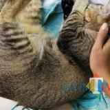 Seekor kucing tertidur sebelum diperiksa oleh tim medis dalam pemecahan rekor MURI pemeriksaan kesehatan kucing di Malang. (Foto: Nurlayla Ratri/MalangTIMES)