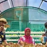 Pertanian organik dengan sistem green house di Desa Pesanggrahan. (Foto: Irsya Richa/MalangTIMES)