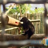 Black lemur saat menyantap buah-buahan dikandannya Batu Secret Zoo, Jatim Park 2, Jumat (26/10/2018). (Foto: Irsya Richa/MalangTIMES)