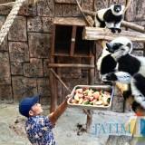 Hari Istimewa, Lemur JTP Disuguhi Buah Anggur, Pir, hingga Apel Merah