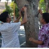 Para pelajar mencabut paku dari pohon di sepanjang Jl. Jaksa Agung Suprapto (Foto : Iatimewa)