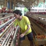 Harga Anjlok, Pakan Mahal, Peternak Ayam Petelur Malang Pertanyakan Kebijakan Ekspor Jokowi