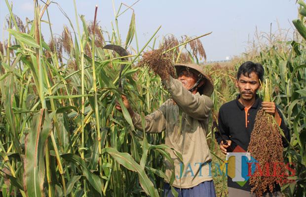 Proses panen sorgum yang dilakukan sejumlah petani di Desa Tampingmojo, Tembelang, Jombang. (Foto : Adi Rosul / JombangTIMES)