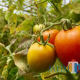 Pertanian tomat di daerah Dusun Santrean, Desa Sumberejo, Kecamatan Batu. (Foto: Irsya Richa/BatuTIMES)