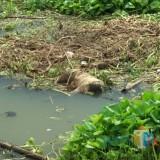 mayat tanpa identitas ditemukan dalam posisi tengkurap dan membusuk.(Foto : Humas Polres Blitar for BlitarTIMES)