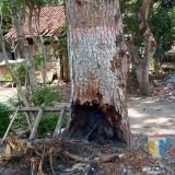 Pohon peneduh jalan yang dibakar warga, kemungkinan besa akan mati (Foto : Doc DLH : Jatim TIMES)