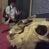 Fosil yang ditemukan di gua tenggar (foto : Joko Pramono/jatimtimes)