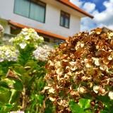 Bunga hortensia yang terkena hama trip diDesa Bukerto Kecamatan Bumiaji Kota Batu. (Foto: Irsya Richa/MalangTIMES)