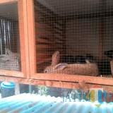 Ternak kelinci di Kelompok Wanita Tani Pagelaran, dimana mereka memanfaatkan urinenya untuk bahan dasar pupuk atau pestisida organik (Nana)