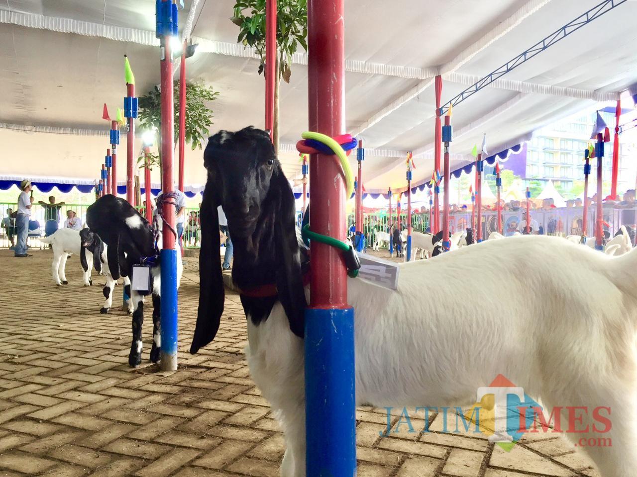 Salah satu kambing yang akan dinilai oleh dewan juri di atas panggung Eco Green Park, Sabtu (8/12/2018). (Foto: Irsya Richa/MalangTIMES)