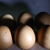 Ilustrasi telur ayam ras, komoditas itu mengalami kenaikan harga jelang Natal dan Tahun Baru. (Foto: Nurlayla Ratri/MalangTIMES)