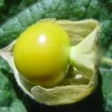 Bunga ciplukan. (Sumber: ccrc.farmasi.ugm.ac.id)