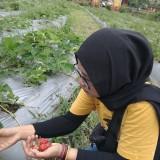 Festival Tandur Stroberi, Asyiknya Wisata Petik Buah di Kota Batu