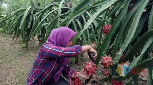 salah seorang wisatawan memetik buah naga langsung dari pohonnya