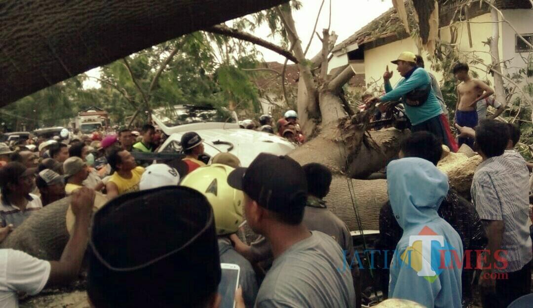 Foto dan video situasi di TKP pohon trembesi tumbang menimpa mobil Xenia di Desa Bengkak Kecamatan Wongsorejo