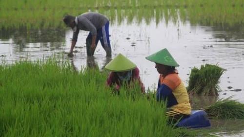 Ilustrasi benih padi dan petani (Ist)