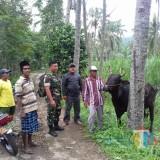 Salah satu sapi yang sempat dibawa kabur kawanan maling sapi yang berhasil ditemukan warga (Foto : Moch. R. Abdul Fatah / Jatim TIMES)