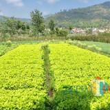 Pertanian sayur andewi di area persawahan Dusun Santrean, Desa Sumberejo, Kecamatan Batu, Kamis (26/10/2017). (Foto: Irsya Richa/BatuTIMES)