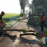 Pohon tumbang di pinggir jalan wilayah kabupaten Kediri. (Foto: B. Setioko/JatimTIMES)