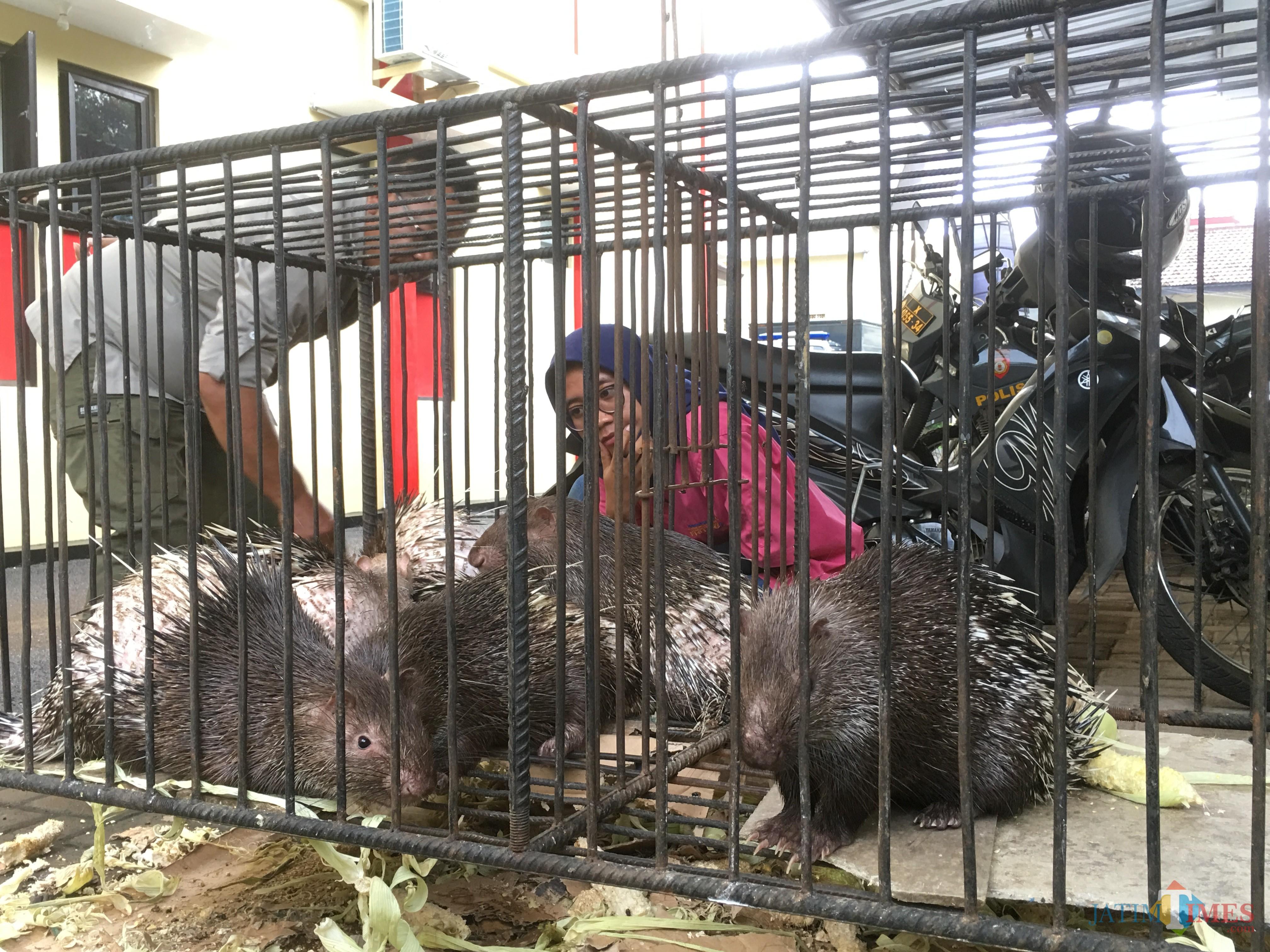 Petugas kepolisian Polres Malang beserta tim dokter hewan dan BKSDA Malang saat melakukan peninjauan terhadap satwa yang dilindungi berupa landak jawa, yang diamankan dari tangan dua pelaku, Kecamatan Sumbermanjing Wetan (Foto : Ashaq Lupito / Malang