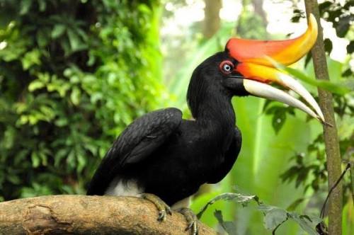 Burung rangkong yang mulai punah di Malang Selatan. (Ist)