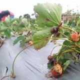 Bakal buah storberi yang sudah busuk (foto Luqmanul Hakim)