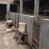 Kandang babi milik Ndolo (foto : Joko Pramono/JatimTIMES)