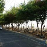 Pohon Cemara Udang yang ada di sekitar Pantai Kenjeran