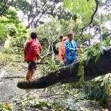 Para petugas sedang melakukan pemotongan pohon di jalan Trunojoyo atau Payung II Kelurahan Songgokerto, Kecamatan Batu. (Foto: istimewa)