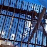 Rawan Dicangking Maling, Hati-Hati Taruh Burung di Depan Rumah