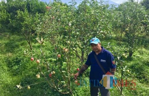Hamparan luas perkebunan buah apel di Desa Tulungrejo, Kecamatan Bumiaji. (Foto: Irsya Richa/BatuTIMES)