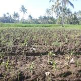 Lahan pertanian salah satu warga di Kecamatan Wringin yang tidak diasuransikan.