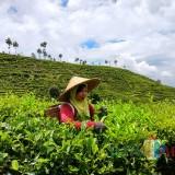 Tampak seorang pekerja perkebunan Sirah Kencong sedang memetik daun teh.(Foto :  Team  BlitarTIMES)