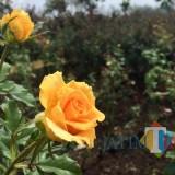 Salah satu tanaman bunga mawar di Lahan Dusun Santrean, Desa Sumberejo, Kecamatan Batu. (Foto: Irsya Richa/BatuTIMES)