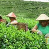 Aktivitas buruh perkebunan Sirah Kencong, memetik daun teh.(Foto : Team BlitarTIMES)