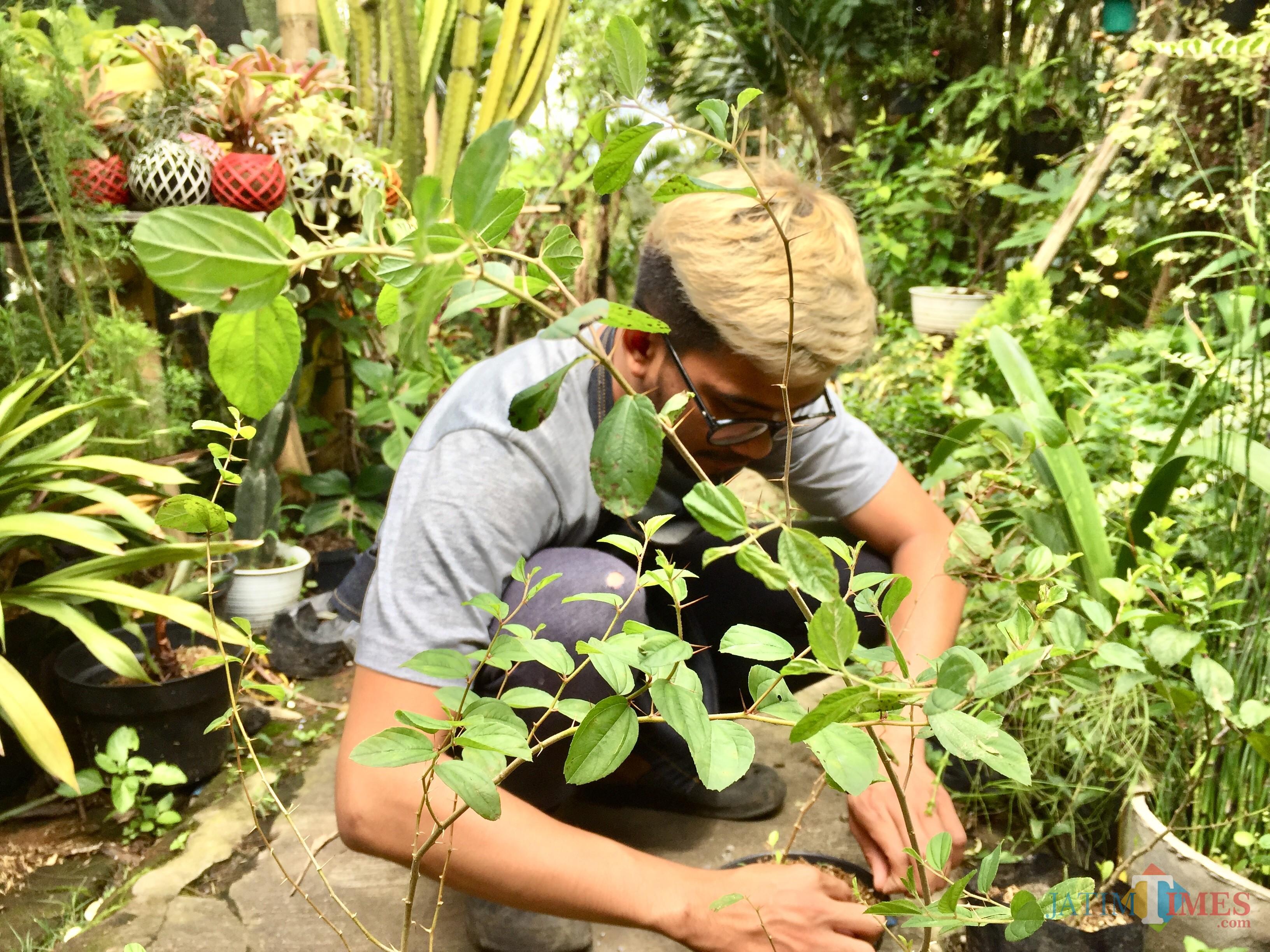 Salah satu petugas di Galery Kokedama sedang merawat tanaman di Jalan Patimura, Kelurahan Temas, Kecamatan Batu. (Foto: Irsya Richa/MalangTIMES)