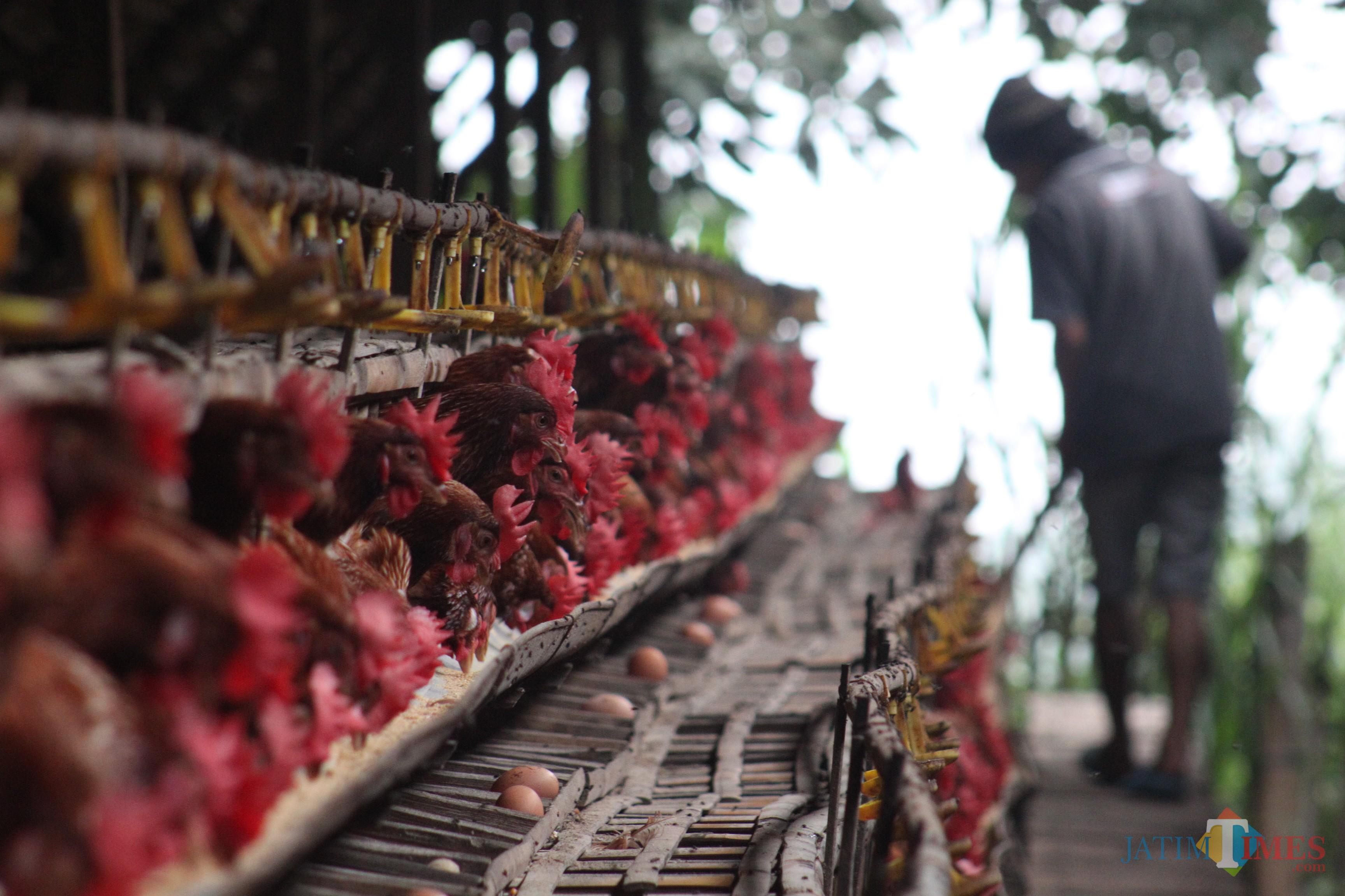 Pemberian pakan oleh penjaga kandang ayam petelor (Foto : Lukmanul Hakim/MalangTIMES)