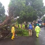 Petugas yang mengevakuasi pohon beringin besar dengan menyeret menggunakan truk kontaktor (Anggara Sudiongko/MalangTIMES)