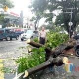 Kondisi pohon tumbang di Bengawan Solo saat ini . Foto: Imarotul Izzah/MalangTIMES)