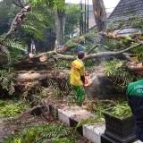 Pohon Tumbang Jalan Dr Cipto, Timpa Pengendara Suami Istri, Hingga Alami Patah Tulang