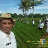Chuk Sunardi (Anggota BP Tangsil) dampingi pembelajaran petani di laboratorium lapang