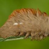 Puss Caterpillar (Foto: istimewa)
