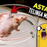 eksperimen telinga manusia yang menempel tubuh tikus (YtCrash)