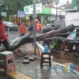 Petugas BPBD Jember saat membersihkan pohon yang roboh dan menimpa rombong cilok (foto : istimewa / JatimTIMES)