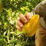 Ilustrasi buah belimbing (Foto : Youtube)