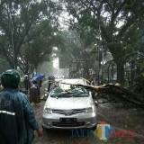 Pohon tumbang yang terjadi di berbagai wilayah Malang Raya. Di Kabupaten Malang dari awal tahun sampai sekarang telah terjadi 33 kejadian. (dok MalangTIMES)