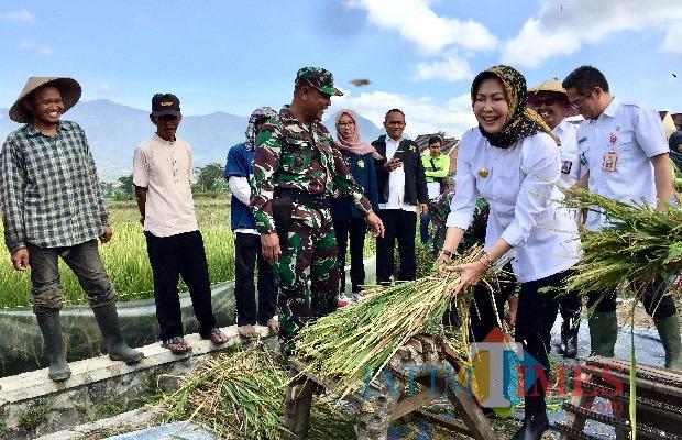Wali Kota Batu Dewanti Rumpoko saat memanen padi organik di Dusun Caru, Desa Pendem, Kecamatan Junrejo beberapa saat lalu. (Foto: Irsya Richa/MalangTIMES)